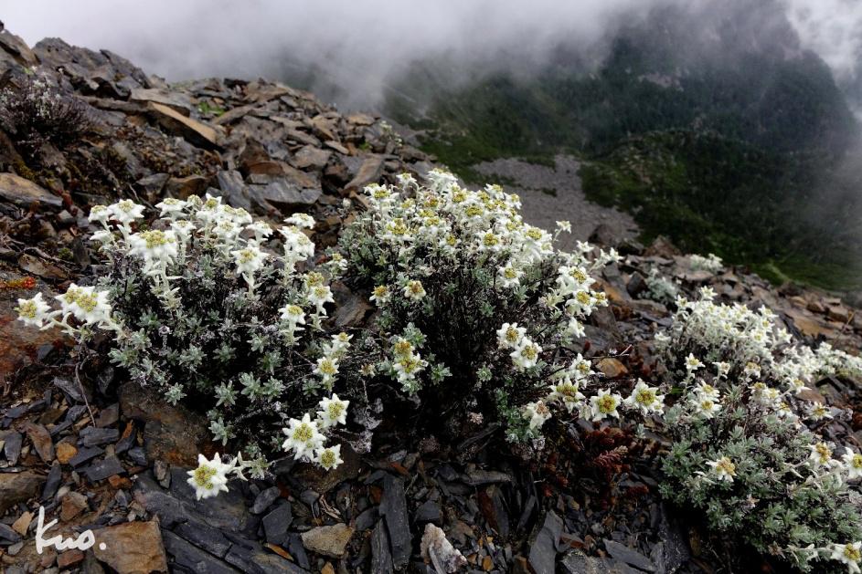 圖四:雪山頂北邊稜線,雪白的玉山薄雪草呼應著司界蘭溪谷白雲。薄雪草在聖稜的數量相當穩定,六月中旬後盛花三星期。隔早的藍天影像,並不比這檔滿意。