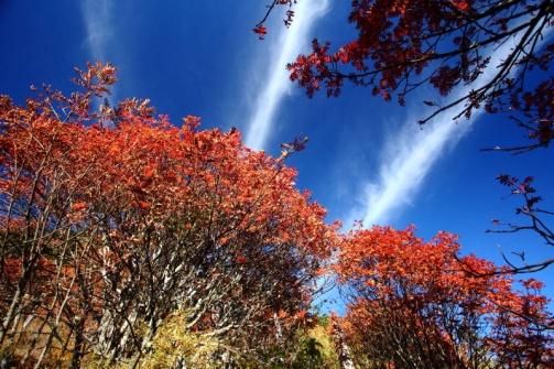 01-B-9--2014.10.30年初的莫名火,造就花楸林通風性佳,生長狀況良好。花果俱佳的一年,冷得早,所以十月底已是滿樹紅彩,三條線白雲,益增可觀性。