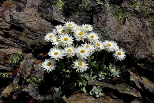 06-2-2014.7.5青年時期,正是最美的賞花時光。矮小植株,花序圍繞的七層蓮花狀似的總苞片,讓人們誤認花蕊碩大,此時聚集中央部位黃色小花已全部展開,最佳賞花時。